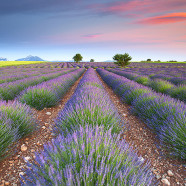 Lavender Fields Around the World